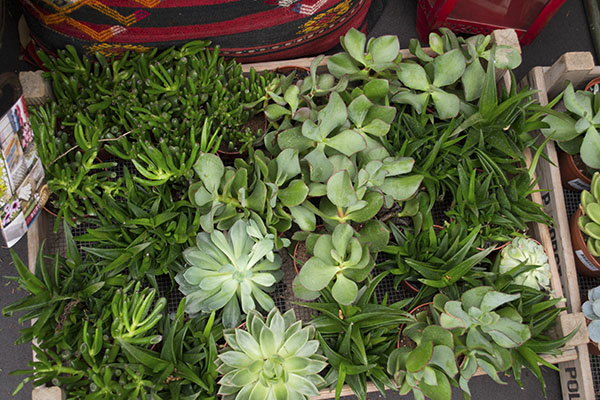 Burford Succulents