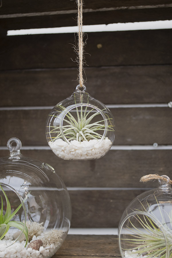 Urban Botanist Airplant